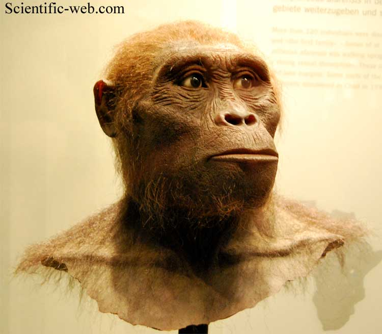 an introduction to the history of australopithecus afarenis Australopithecus afarensis and africanus, and the other species above, are known as gracile australopithecines, because their skulls and teeth are not as large and strong as those of the following species, which are known as the robust australopithecines (gracile means slender, and in paleoanthropology is used as an antonym to robust.