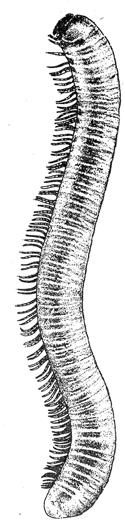a millipede after comstock