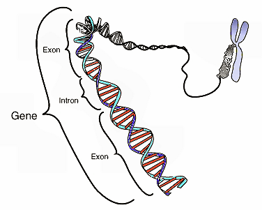 Geneg this stylistic diagram shows a gene in relation to the double helix structure of dna and to a chromosome right the chromosome is x shaped because it is ccuart Image collections