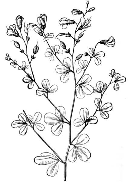 Bell Flowers Drawing Ginseng And Other Medicinal